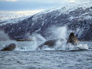 Norwegen - Orcas und Buckelwale unter Nordlichtern