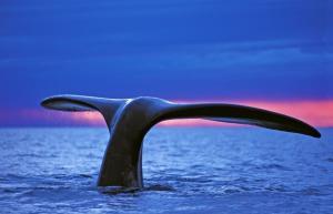 Portugal | Azoren - Die Saison der Giganten – Der Traum vom Blauwal